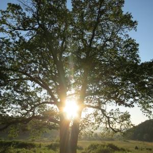 Ultimii stejari seculari de la Cristian, dansând cu soarele